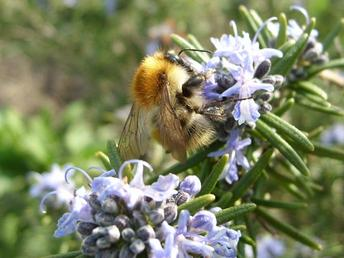 'Industry'. Bumblebee on Rosemary. By Frances Laing. March, 2009